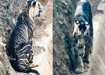 Captan imágenes de un inusual tigre negro